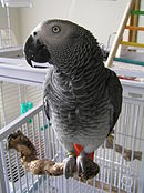 Congo African Grey pet on a perch.JPG