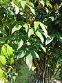 Connarus monocarpus-Jardin botanique de Kandy (1).jpg