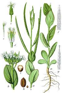 Conringia orientalis Sturm3