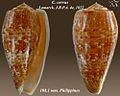 Conus cervus 1.jpg
