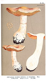 Cooke-Illustrations of British Fungi-Pl.790.jpg