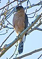 Cooper's Hawk in California.jpg