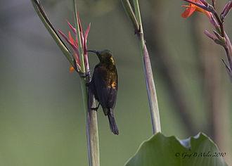 Copper sunbird - Male
