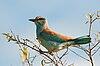 Coracias garrulus -Kruger National Park-8