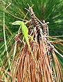Core Banks - Green Anole - 1.JPG
