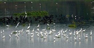 Singanallur Lake - Image: Cormorants Egrets Singanallur Lake
