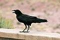 Corvus cryptoleucus Arizona 2.jpg