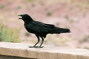 Raven - Chihuahuan raven