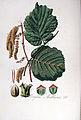 Corylus avellana — Flora Batava — Volume v5.jpg