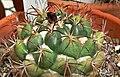 Coryphantha elephantidens 1.jpg