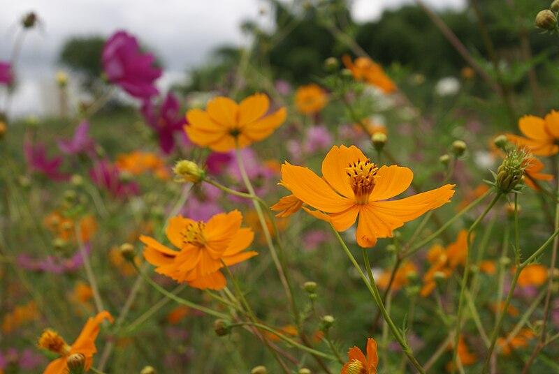 File:Cosmos sulphureus flowers.JPG