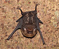 Costa-Rica-Bat-IMG 8315b.jpg