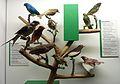 Cotingidae Museum de Genève.JPG