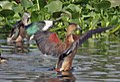 Cotton Pygmy-goose (Nettapus coromandelianus)- Female with Lesser Whistling-duck in Kolkata I IMG 1001.jpg