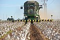 Cotton harvest on the South Plains near Lubbock, Texas. A cotton stripper is pulling the cotton bolls and leaves off the cottons stalk. (24999086472).jpg
