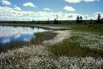 Selawik National Wildlife Refuge - Cottongrass on the refuge wetlands