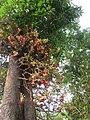 Couroupita guianensis - Cannon Ball Tree at Peravoor (27).jpg