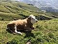 Cow on the Wanderweg to Wengernralp.jpg