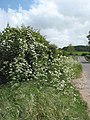 Cow parsley growing by the roadside - geograph.org.uk - 1299746.jpg