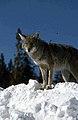 Coyote022 (26662431970).jpg