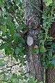 Crataegus monogyna water sprouts (03).jpg