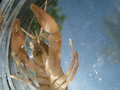 Crayfish from below (5788620021).png