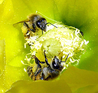 Africanized bee - Africanized honey bees pollinate an Opuntia engelmannii-Yellow Cactus Flower, in the Mojave desert