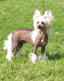 Chinese Crested Hairless Light Skin