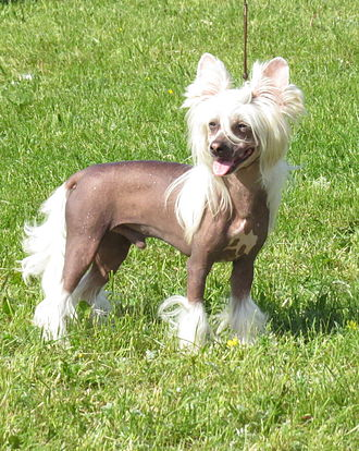 Chinese Crested Dog - Chinese Crested, hairless, light skin