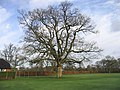 Cricket pitch with large oak tree - geograph.org.uk - 660800.jpg