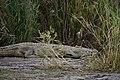 Crocodile, Lake Chamo (1) (29046226572).jpg