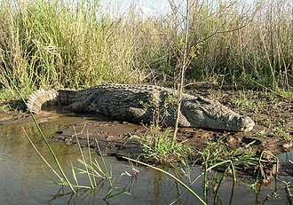 Lake Chamo - Image: Crocodylus niloticus in Lake Chamo 01