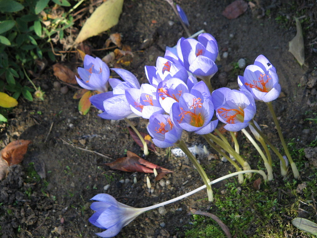 https://upload.wikimedia.org/wikipedia/commons/thumb/1/16/Crocus_speciosus_clump2.jpg/1024px-Crocus_speciosus_clump2.jpg?uselang=ru