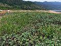 Crotalaria sp and Xanthium strumarium Karaiyar reservoir. P1050240.jpg