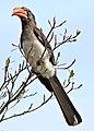 Crowned hornbill, Tockus alboterminatus, at Ndumo Nature Reserve, KwaZulu-Natal, South Africa (35862103775).jpg