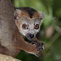 Crowned lemur (Eulemur coronatus) juvenile male head.jpg