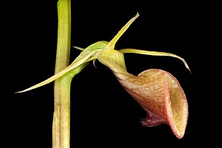<i>Cryptostylis ovata</i> species of plant