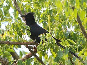 Jacobin cuckoo - Black-phase Jacobin cuckoo in KwaZulu-Natal