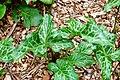 Cuckoo Pint Arum italicum Leaves 3264px.jpg