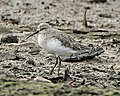 Curlew Sandpiper (Calidris ferruginea) - Flickr - Lip Kee (2).jpg