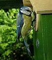 Cyanistes caeruleus -Arras, Nord-Pas-de-Calais, France -nest box-8.jpg