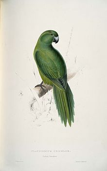 Cyanoramphus unicolor -Platycercus unicolor Uniform Parrakeet -by Edward Lear 1812-1888.jpg