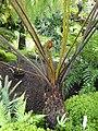Cyathea dregei - Botanischer Garten München-Nymphenburg - DSC08026.JPG