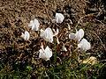 Cyclamen hederifolium Album RHu.jpg