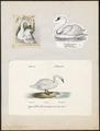 Cygnus olor - 1700-1880 - Print - Iconographia Zoologica - Special Collections University of Amsterdam - UBA01 IZ17600223.tif