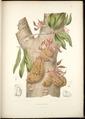 Cynometra cauliflora.tif