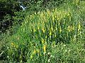 Cytisus nigricans sl8.jpg