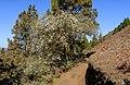 Cytisus proliferus - La Palma 02.jpg
