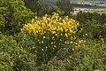 Cytisus scoparius-Genêt à balais-20160614.jpg