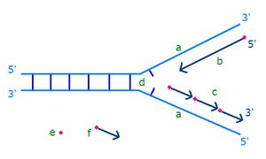 Okazaki fragments - Synthesis of Okazaki fragments